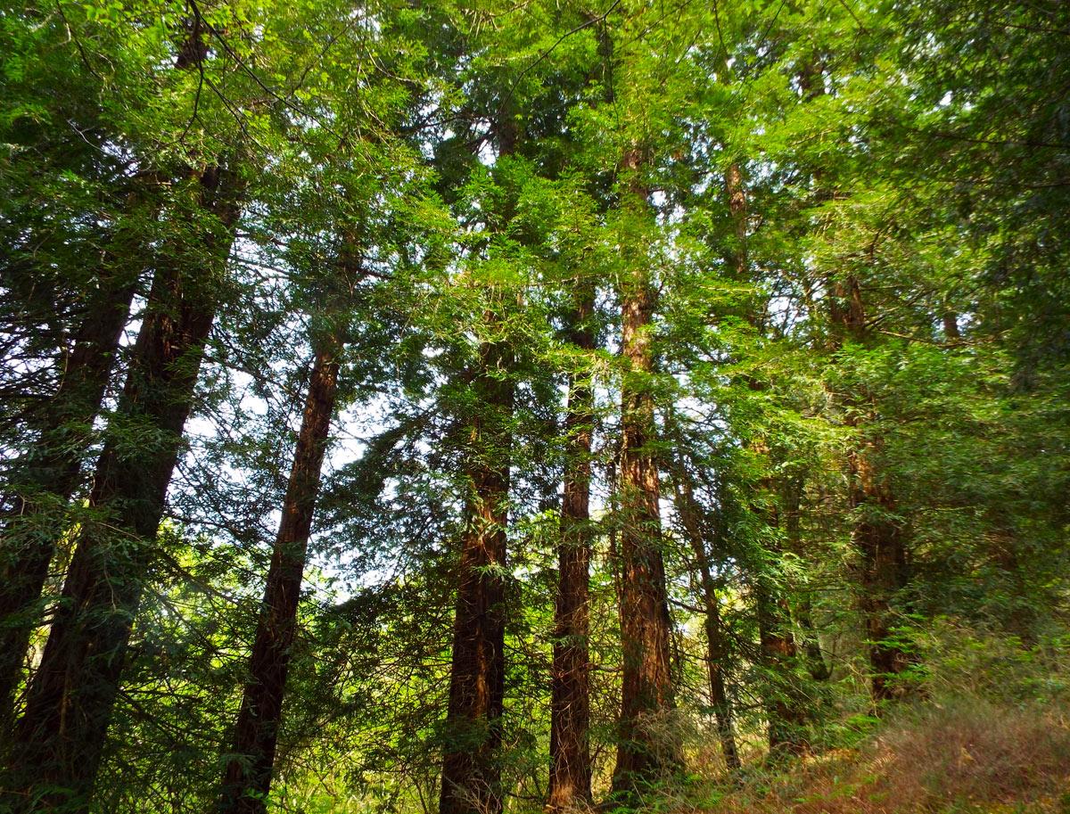 Bosque De Secuoyas De Cabezón De La Sal